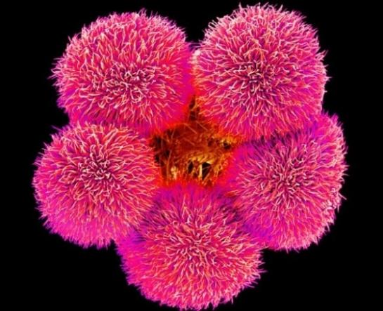 pollen géranium